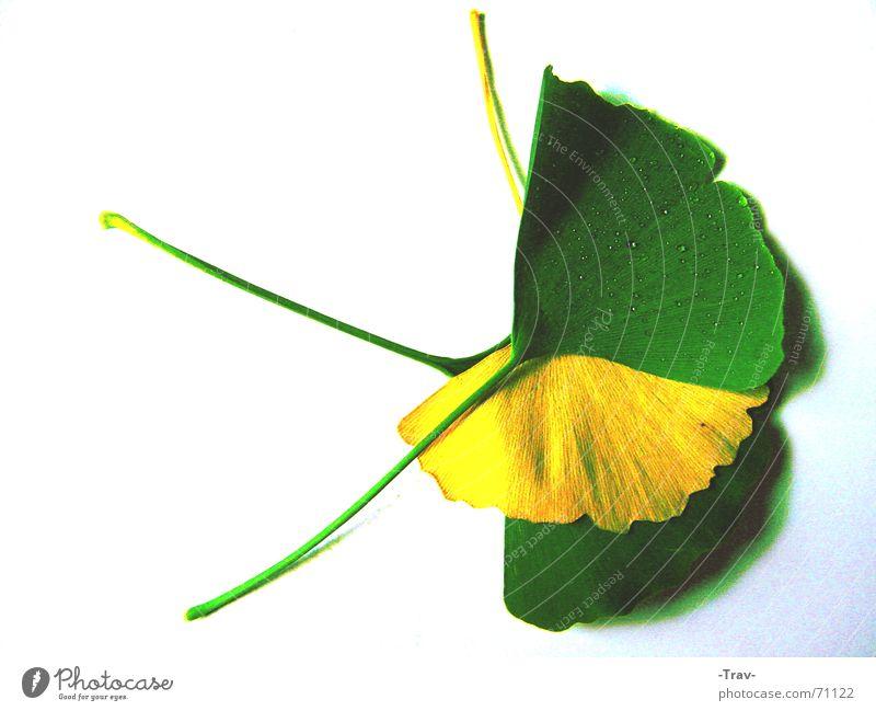 The Yellow between the Green Baum grün Pflanze gelb Herbst Bodenbelag verdeckt Ginkgo Vor hellem Hintergrund