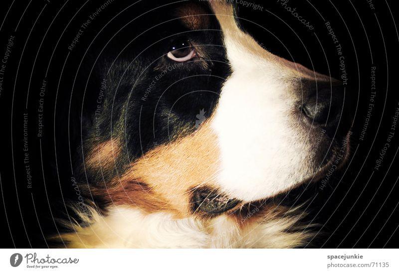 Berner Sennenhund weiß schwarz Tier Hund Nase Fell Haustier verträumt Schnauze Hundekopf