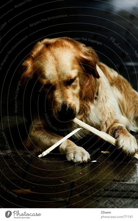 spiel mit dem stöckchen.... III Hund Tier Stock Spielen Golden Retriever Freundlichkeit süß niedlich Pfote liegen gold retriever play Aktion