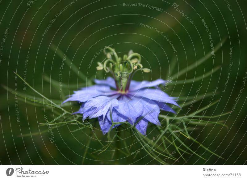kringeling Sommer Pflanze Blume blau grün violett filigran Blütenblatt Gefäße gekringelt Baumkrone filigree blossom blue flower crown skirt Farbfoto