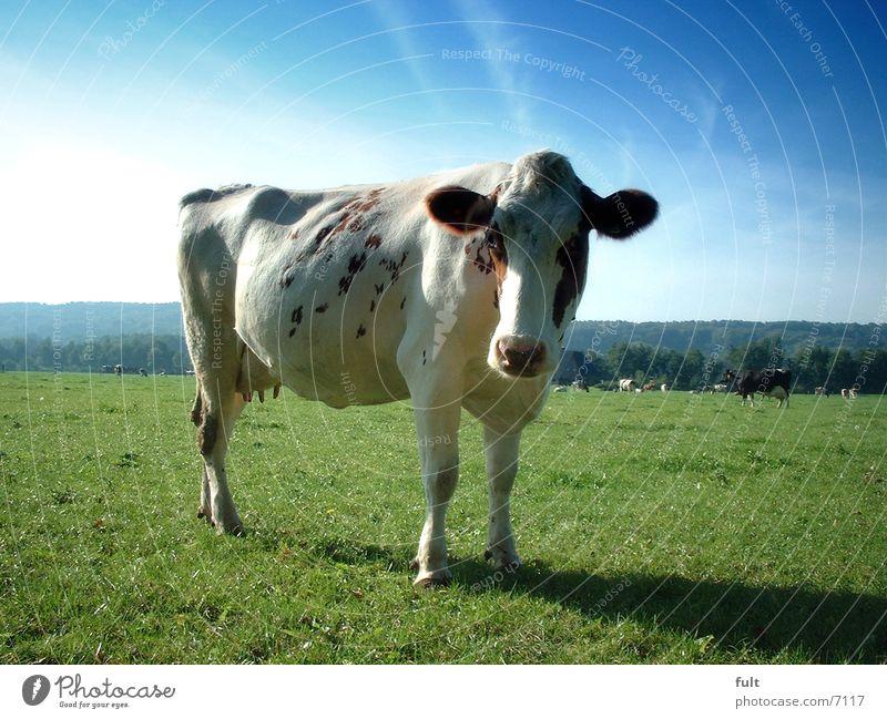 kuh Himmel Wiese Kuh Milchkuh