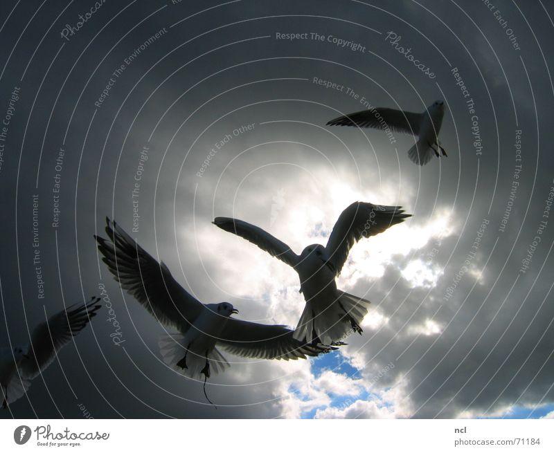 Möwen Wolken schlechtes Wetter Unwetter bedrohlich Vogel Angriff Meer Aggression flattern Himmel Gewitter blau Ostsee Wind Sonne Wildtier Feder Flügel