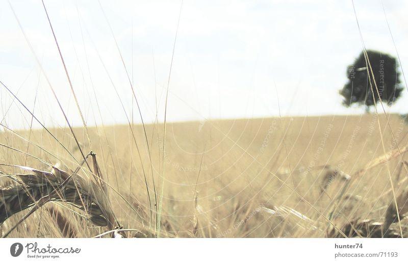Getreidefeld und einsamer Baum Feld Wiese Landwirtschaft Kornfeld Himmel Natur