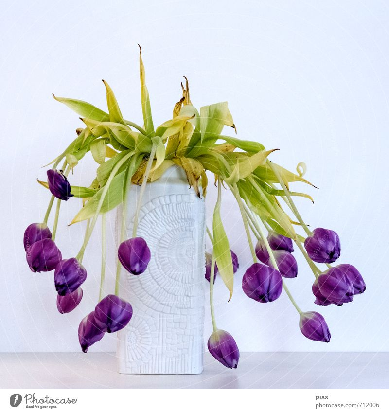 noch zu früh Stil Wohnung Pflanze Blume Tulpe alt fallen hängen dehydrieren Wachstum Häusliches Leben hässlich grün violett weiß Frühlingsgefühle schön Trauer