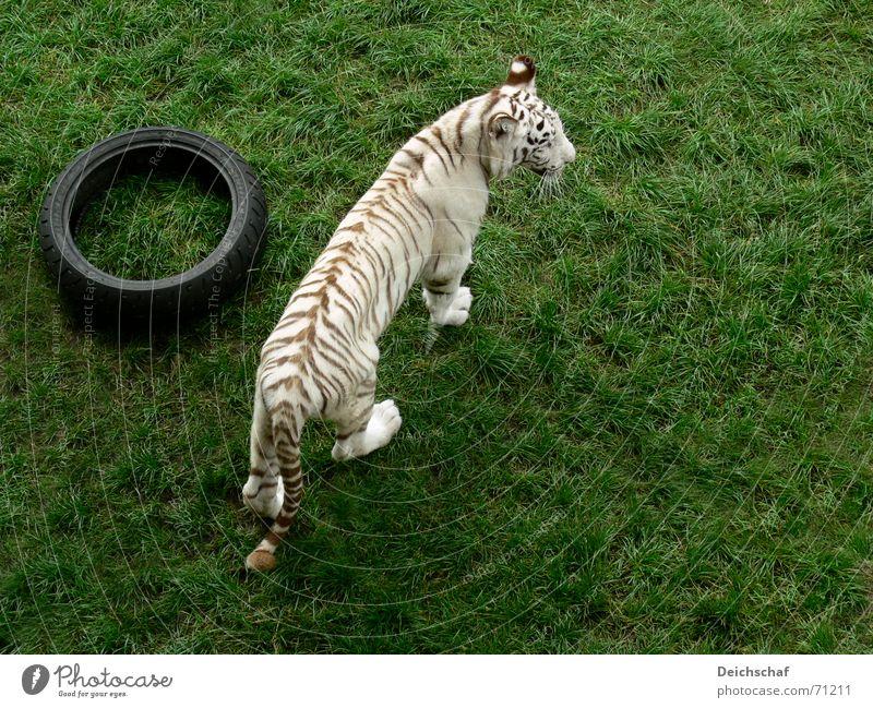 Will denn Niemand spielen? Tier Landraubtier Raubkatze Tiger Zoo weiß Vogelperspektive safaripark stukenbrock