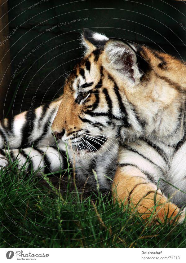 Kleiner Tiger Tier Zoo Katze Tiger gestreift Landraubtier Raubkatze