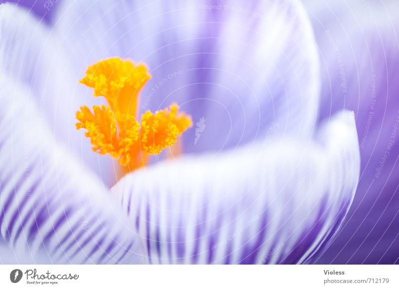 das gelbe vom ... Blüte Stempel Krokusse Frühling Makroaufnahme violett