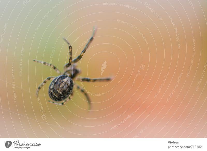 Geduld | Auf Abendessen warten Spinne orange gefährlich Spider Unschärfe Ophistosoma Nahaufnahme Makroaufnahme Schwache Tiefenschärfe