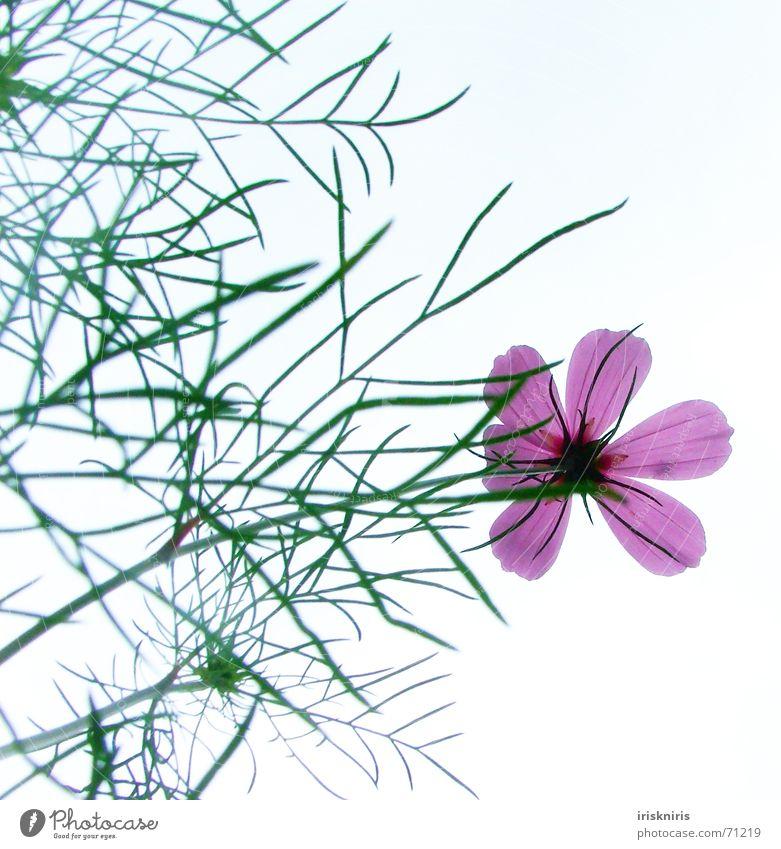 Cosma Blume zart zerbrechlich Blüte rosa Pflanzenteile Blütenstiel Halm Stengel Anmut zierlich schön Sommer durchleuchten Himmel cosmee sanft elegant