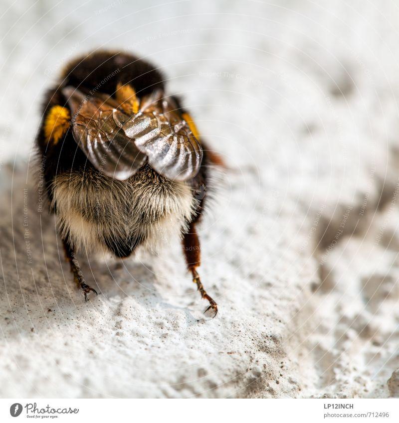 Der Bestäuber Natur Blume Tier Umwelt Arbeit & Erwerbstätigkeit fliegen Behaarung Flügel Pause Insekt Pollen Hummel bestäuben