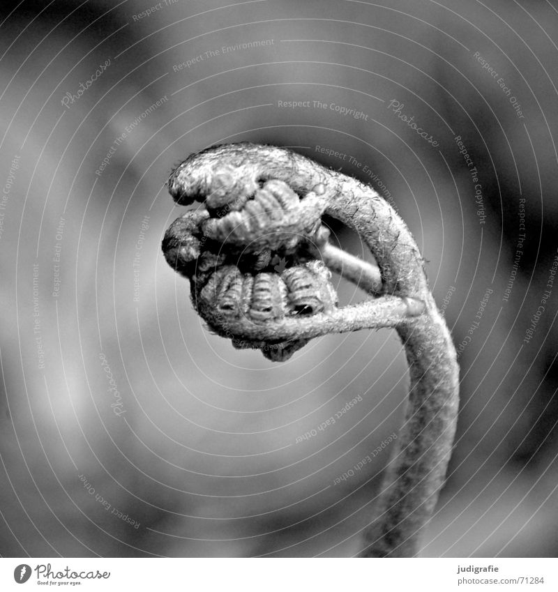 Farn Pflanze Faust schwarz zusammengerollt Schwarzweißfoto Makroaufnahme Nahaufnahme polypodiophyta Trieb pteridophyta Echte Farne Jungpflanze Kraft Natur