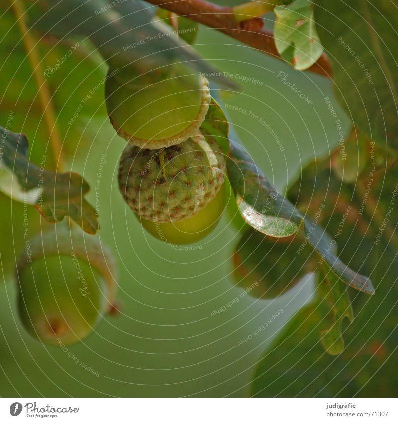 Herbst Eiche Blatt Baum Holz grün Licht Eicheln Zweig