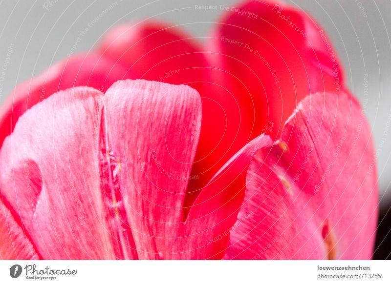 Blütenblätter Natur Pflanze Frühling Tulpe Blühend Duft elegant fantastisch schön natürlich rosa rot Frühlingsgefühle ruhig Reinheit ästhetisch Zufriedenheit
