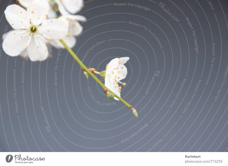 Blüte Weiss. Natur Pflanze Baum Erholung ruhig Leben Frühling Bewegung Hintergrundbild Gesundheit Garten Feste & Feiern Dekoration & Verzierung Geburtstag