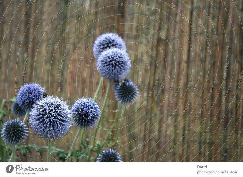 Allium Pflanze Sommer Blume Blüte Grünpflanze Garten rund violett Porree Lauchblüte Zaun Bambusmatte Blühend kugelig Kugelblüte sprießen gedeihen gärtnern