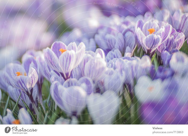 *333* Natur Pflanze Frühling Blüte Garten Park Wiese Blühend verblüht Duft frisch violett Gefühle Stimmung Freude Fröhlichkeit Lebensfreude Frühlingsgefühle