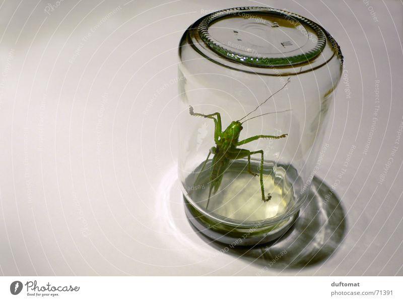 BIO-Konserve Ernährung Bioprodukte Slowfood Flasche Glas Tier Insekt Grashüpfer Heuschrecke 1 frisch groß gruselig rebellisch grün gefangen eingesperrt