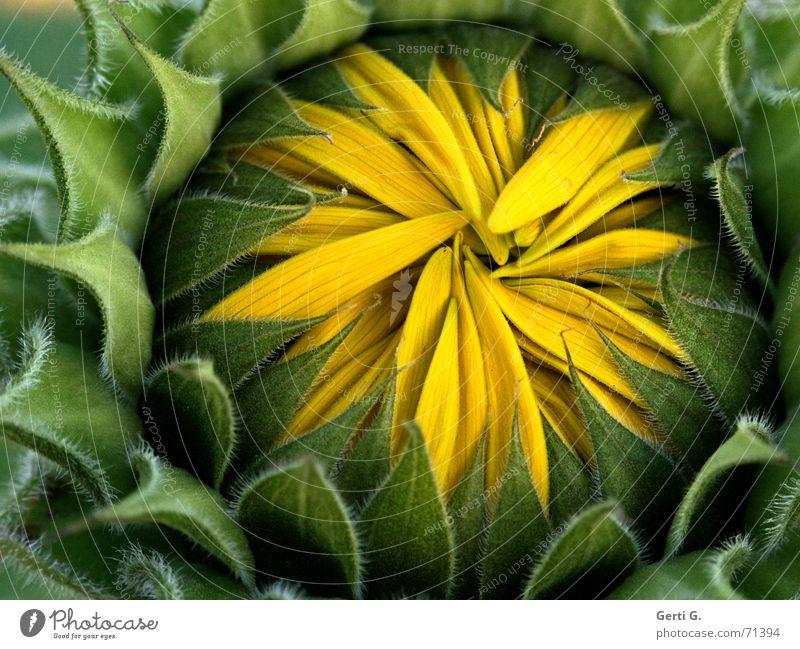 HideAway grün Sommer gelb Herbst geschlossen frisch kaputt Schutz Blühend Jahreszeiten verstecken Blütenknospen Sonnenblume Geborgenheit Blütenblatt Versteck