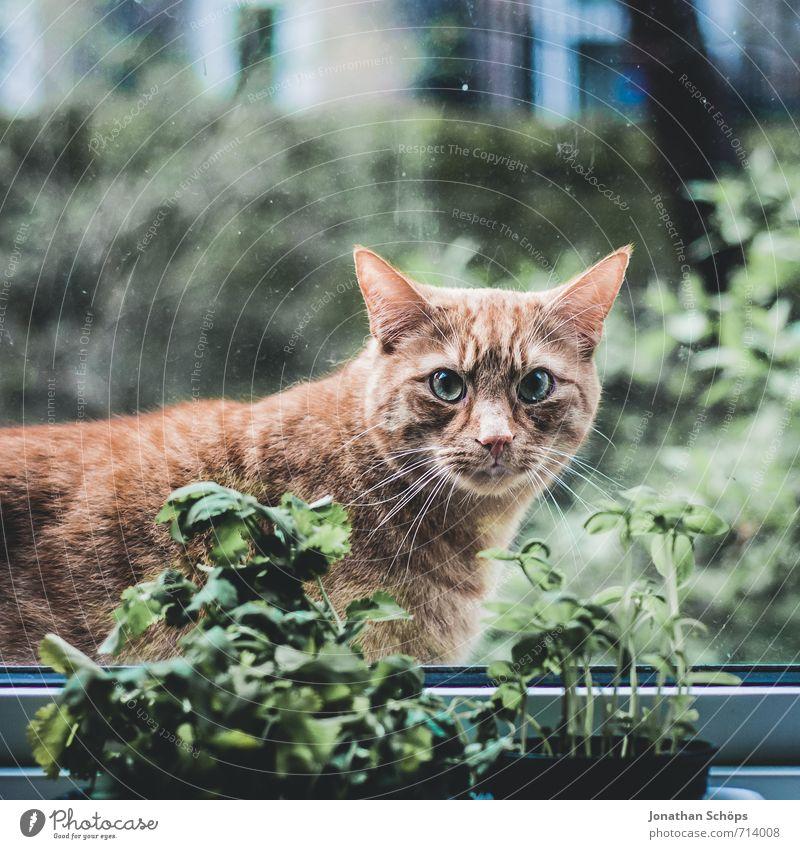 Kräutermietze Tier Haustier Katze Tierliebe Katzenkopf Fenster Fensterscheibe Kräuter & Gewürze Fensterbrett Blick direkt Wachsamkeit Tierporträt tierisch