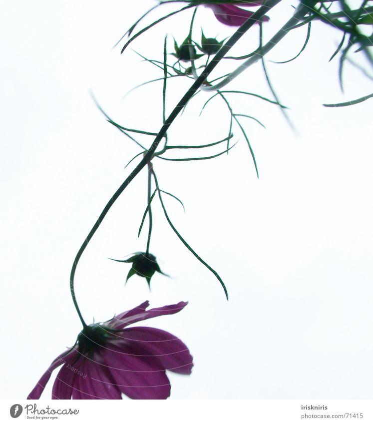 Cosma II Himmel Blume Pflanze Sommer Blüte rosa elegant zart Stengel Halm zierlich zerbrechlich Anmut verkehrt hängend Schmuckkörbchen