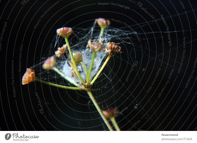 Spinnewipp Blume Pflanze Blüte Garten Netz Samen Blütenknospen Spinnennetz