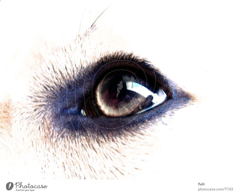 Dogeye Hund Hundeauge Stil Auge Blick