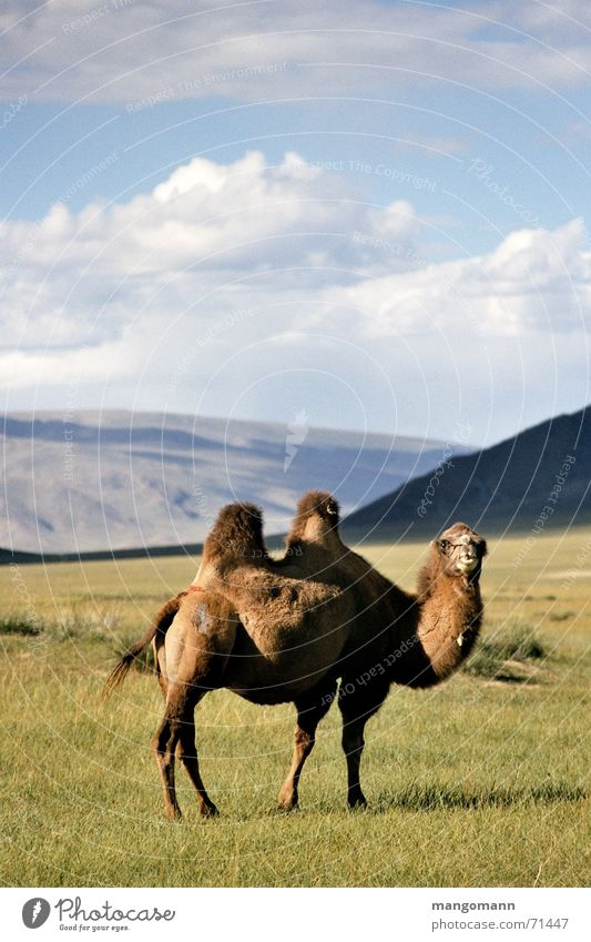 Kamel Himmel Tier Haare & Frisuren Asien Steppe Kamel Mongolei