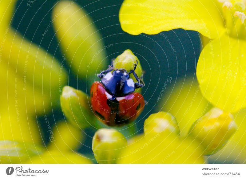 Ladybug between yellow blossom Natur Blume rot Sommer Freude schwarz gelb springen Blüte Frühling klein Insekt Punkt Marienkäfer Käfer zerbrechlich