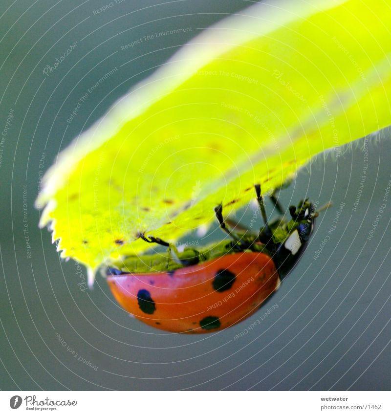 Ladybird under leaf Natur Blume grün rot Sommer Freude Blatt schwarz gelb springen Blüte Frühling klein Insekt Punkt Marienkäfer