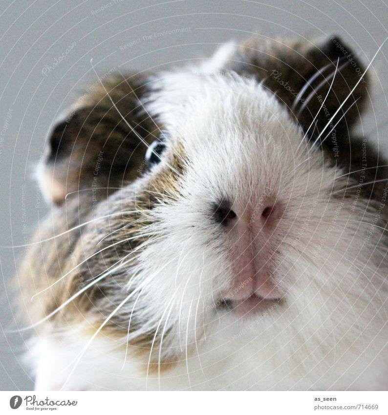 ?! Tier Bart Haustier Tiergesicht Streichelzoo Meerschweinchen 1 berühren Blick authentisch frech kuschlig lustig Natur natürlich Neugier niedlich positiv weich