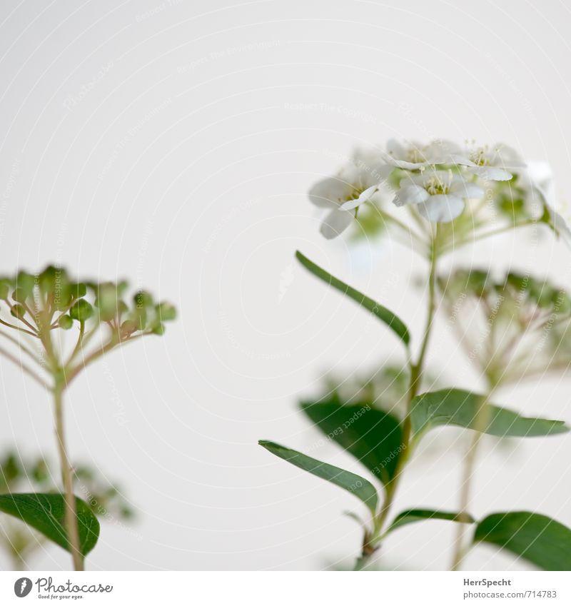 Blühstrauch Pflanze Blatt Blüte Grünpflanze ästhetisch frisch natürlich grün weiß Sträucher Blume Stengel Blütenknospen Blütenpflanze Farbfoto Gedeckte Farben