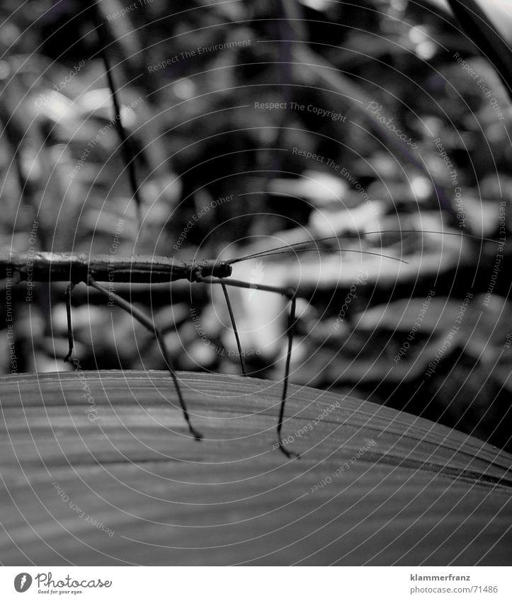 Lebender Ast Tier Insekt Urwald Makroaufnahme Seychellen lebender ast dschungl jungle seychelles Schwarzweißfoto black/white