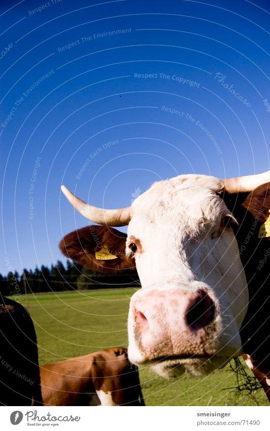 Portrait einer Kuh Himmel blau grün Wolken Auge Wiese Gras Glück Feld Nase Fröhlichkeit gut Weide Landwirtschaft Horn