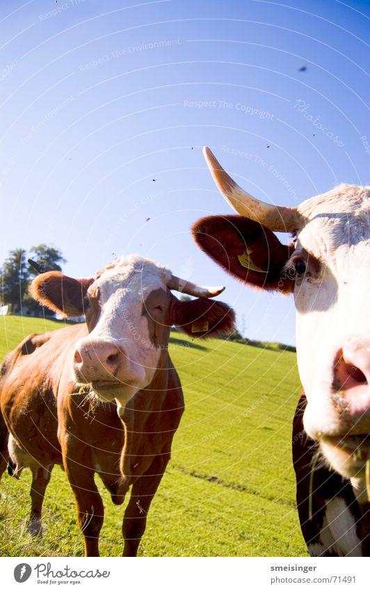 Portrait zweier Kühe Himmel blau grün Wolken Auge Wiese Gras Glück Feld Nase Fröhlichkeit gut Vertrauen Weide Landwirtschaft Kuh