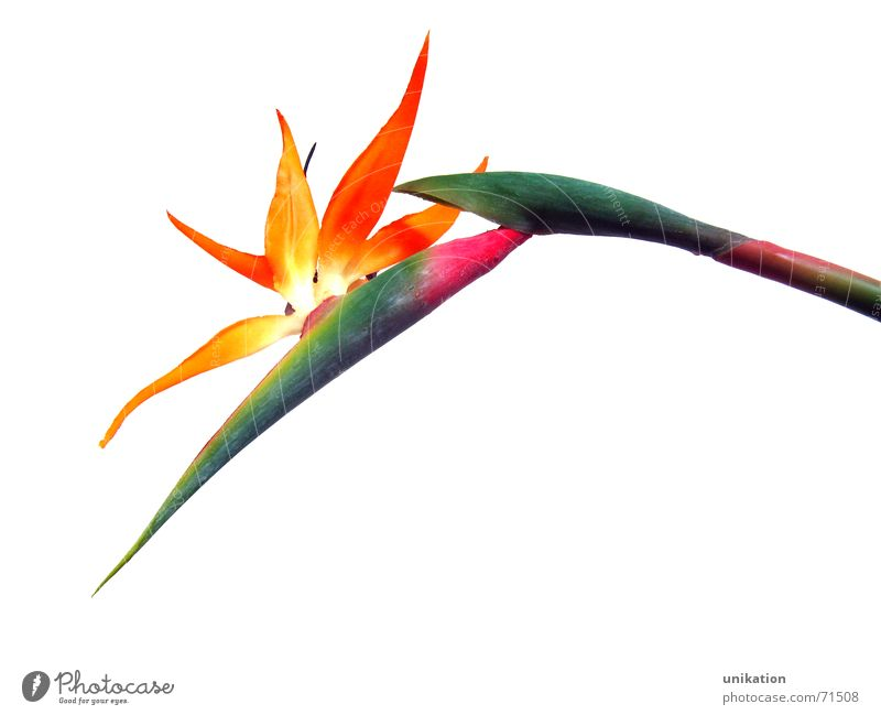 Paradiesvogel [1] weiß Blume grün Pflanze Blüte orange rosa Freisteller Stengel Blühend Statue exotisch Kunstblume Strelitzie Strelizie