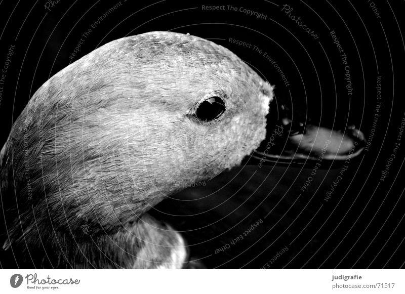 Entenportrait schwarz Auge Tier grau Vogel Feder weich Seite sanft Schnabel