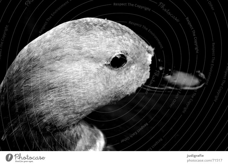Entenportrait Tier Vogel Schnabel weich schwarz grau Schwarzweißfoto Auge Feder Blick Seite sanft