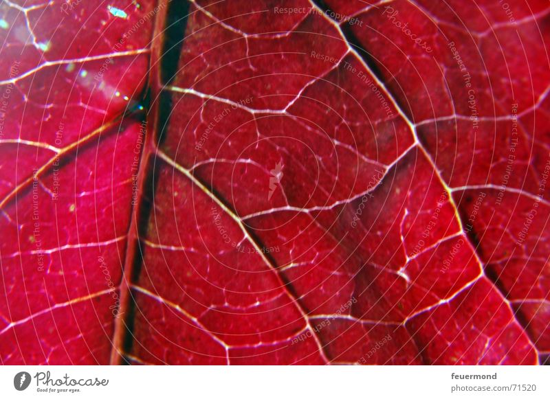 Lebensadern Gefäße Blatt Herbst rot mehrfarbig kalt Winter Baum Licht herbstlich