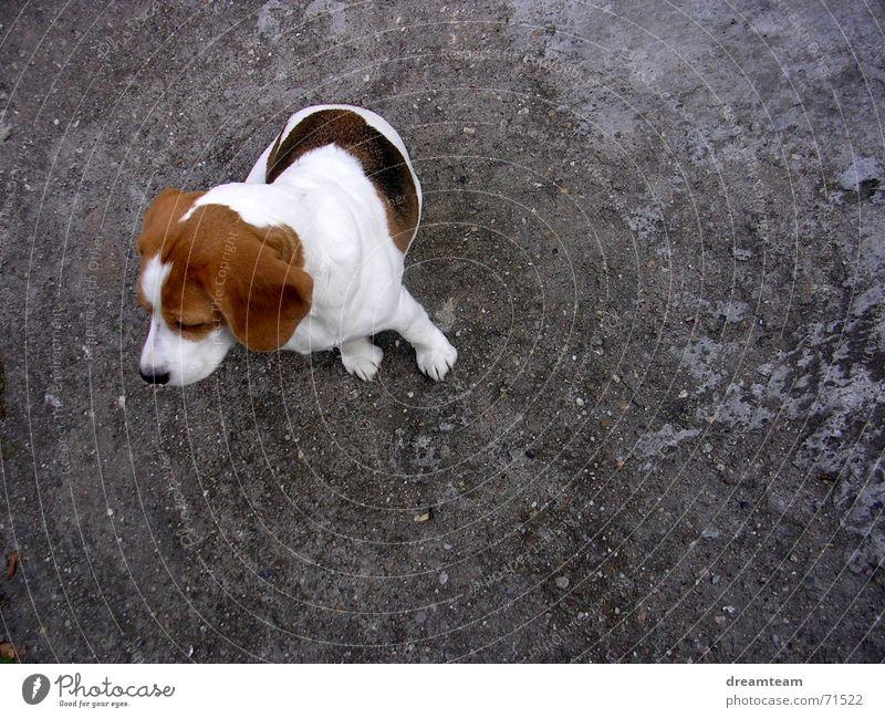Meggloff weiß schwarz grau Hund träumen braun Beton Ohr Kuh Fleck Kies Tier Rind Beagle Hängeohr