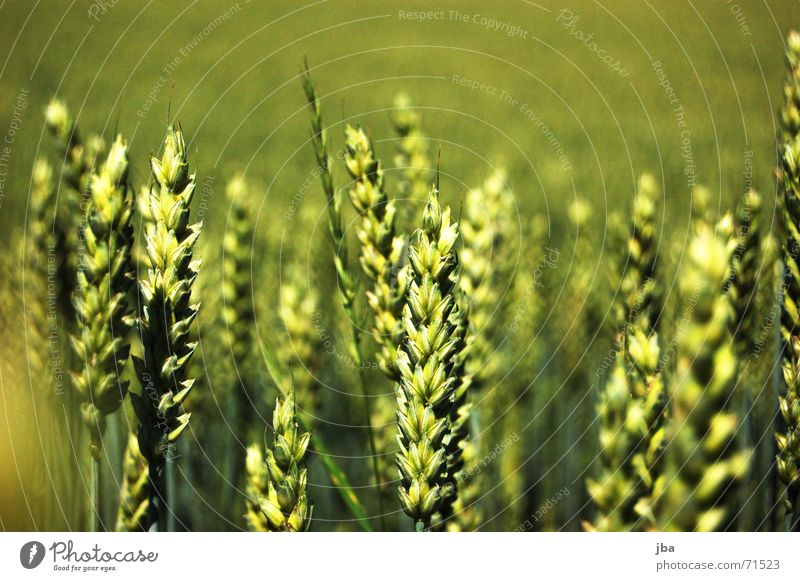 Fliegende Ähren Feld mehrere Tiefenschärfe Unschärfe Hintergrundbild stehen grün Mahlzeit Ernährung Lebensmittel satt viele scharf-unscharf tiefenunschärfe Wind