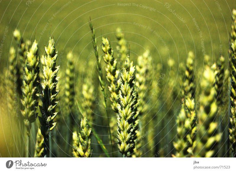 Fliegende Ähren grün Hintergrundbild Feld Wind Lebensmittel mehrere Ernährung stehen viele Ernte Tiefenschärfe Mahlzeit satt