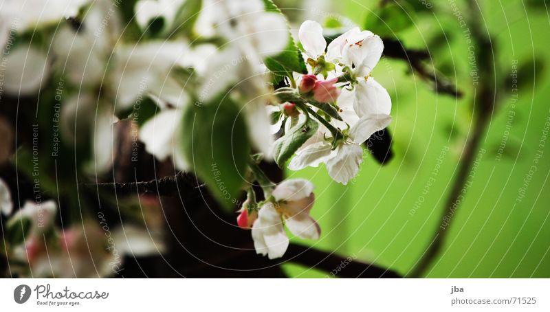Frühling Blüte Baum Apfelbaum Biene saugen Staub Pollen Ernährung grün weiß Tiefenschärfe Unschärfe apfelbaumblüten Ast Lebensmittel Sommer