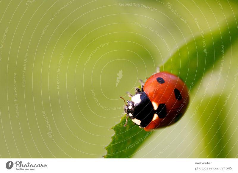ladybird Natur Blume grün rot Sommer Freude Blatt schwarz gelb springen Blüte Frühling klein Insekt Punkt Marienkäfer