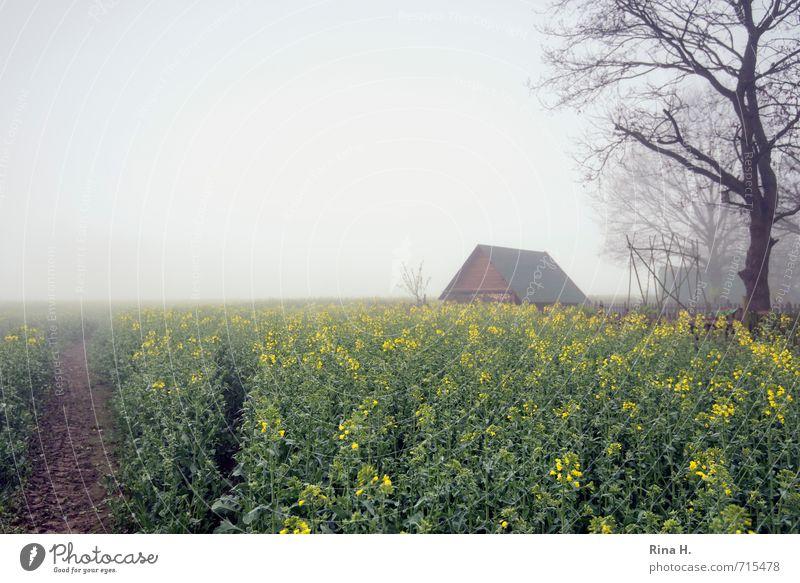 FrühlingsNebel Landschaft Horizont Feld Hütte Wege & Pfade Rapsfeld Landwirtschaft Baum Nutzpflanze Rohstoffe & Kraftstoffe nachwachsender Rohstoff Fußweg