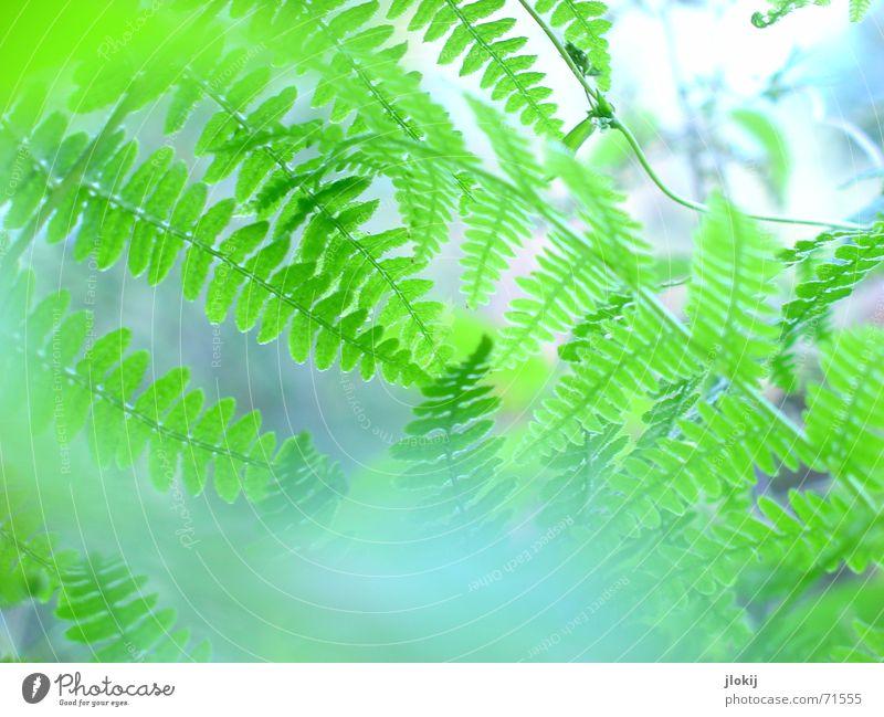 Much Farn Pflanze grün Natur Leben Unschärfe Nebel Licht Biologie verwaschen zart weich Echte Farne leaves Makroaufnahme blau blue wedel Graffiti hell