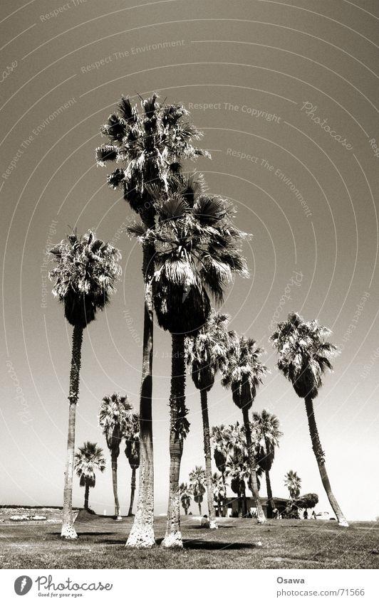 Venice Beach II Himmel Sonne Strand mehrere Palme Palmenwedel Wäldchen Kokosnuss Freitag Datteln