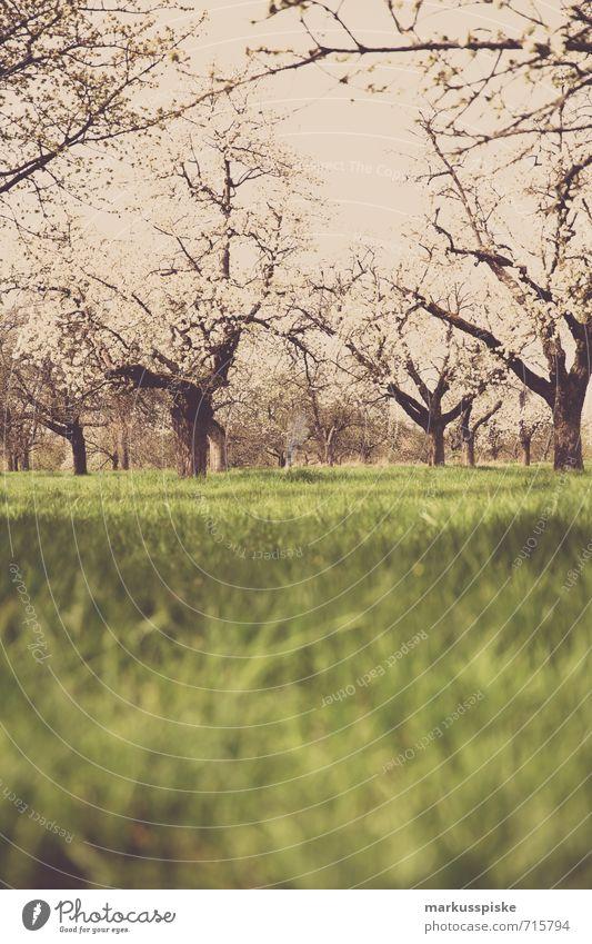 blütezeit Pflanze Landschaft Tier Blüte Frühling Wiese Lebensmittel Frucht Park Ernährung Blühend Bioprodukte Apfel Blütenknospen hängen Vegetarische Ernährung