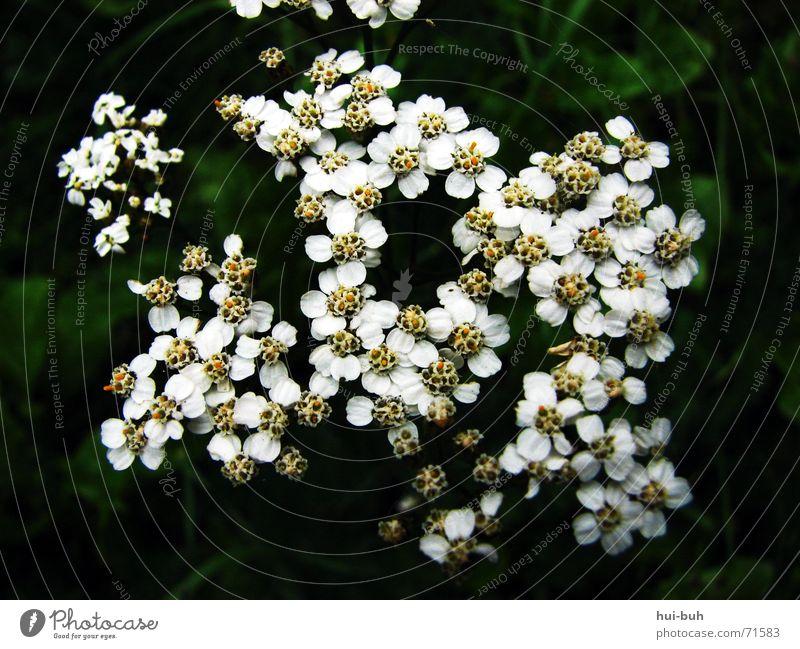 butflowers schwarz Pflanze Unterholz Gras Blüte Blume weiß bestäuben grün dunkel Zusammensein Schatten grass Pollen Einsamkeit mehrere