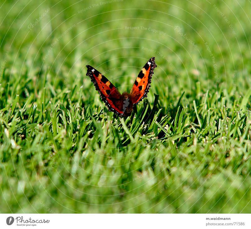 Schmetterling Gras geschnitten Sommer Wiese Feld Insekt Flügel