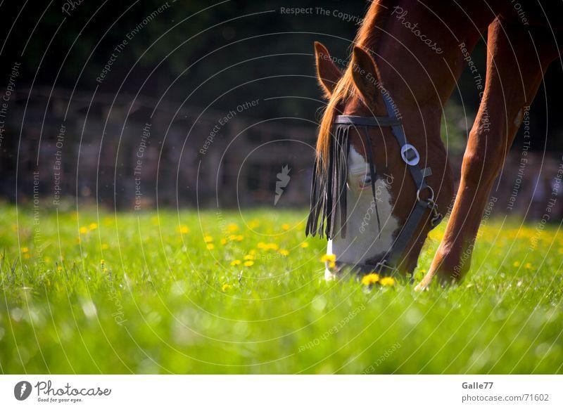 Appetit auf Grünes Sommer ruhig Wiese Ernährung Gras Lebensmittel frisch Pferd lecker Weide Appetit & Hunger genießen Fressen saftig Geschmackssinn Tier